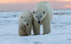 International Polar Bear day brings awareness to global warming and environmental problems