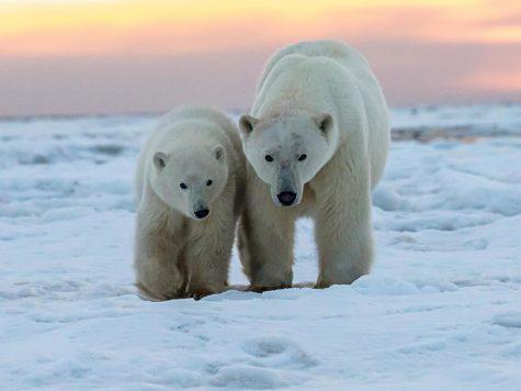 International Polar Bear day brings awareness to global warming and environmental problems